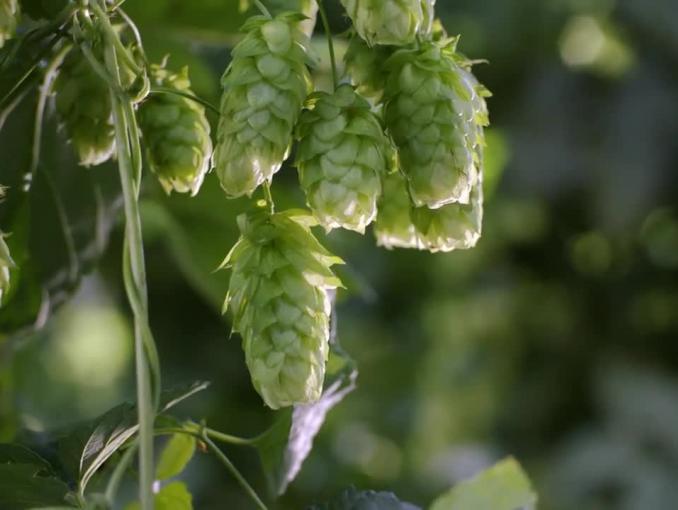 Piwo Žatecký Světlý Ležák: Najlepszy chmiel. Wyborne piwo