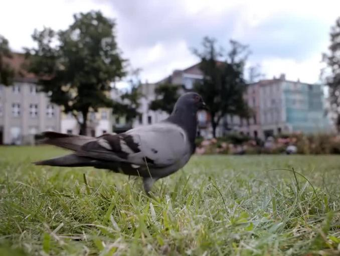 Krystyna Czubówna opowiada o gołębiach w spocie mBanku.