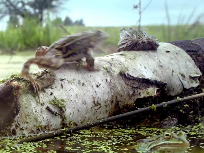 "mBank z żabami wodnymi reklamuje program ""PolecamBank"""