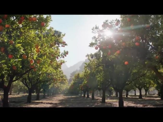 Plantacja pomarańczy w reklamie soku Tymbark