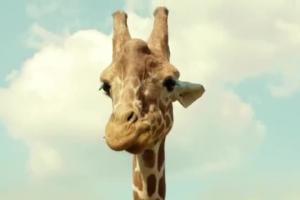 Żyrafa z reklamie kredytu gotówkowego w mBanku